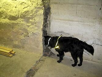 SKADEDYRJAKT: I tillegg til å finen stokkmaur, er hunden også lært opp til å finne gnagere.