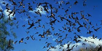ILLEVARSLENDE: Selv om de fleste blir smittet av hunder, er også flaggermus bærere av rabies.