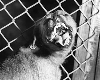FARLIG: Hund med antatt rabies