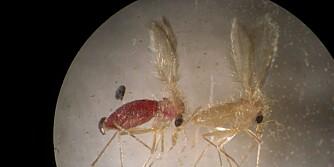 SANDFLUER: Slik ser de ut under et mikroskop. Legg merke til vingene.