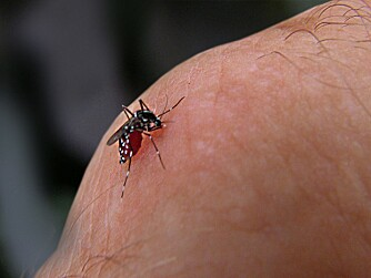 FARLIG: En dengue-bærende mygg. Bildet er tatt i Bankok.