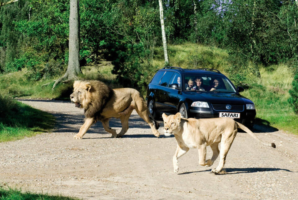 SAFARI: I Givskud zoo kjører du rundt i din egen bil. FOTO: Givskud zoo