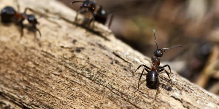 HVORDAN BLIR KVITT MAUR: Mauren liker treverk, og gnager på og huler ut mykt treverk. Dermed kan det være lurt å sjekke opp om du har en fuktskade om du sliter med maur inne.