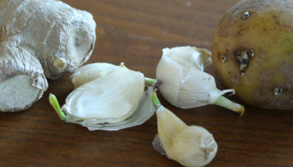 PLANTE HVITLØK OG INGEFÆR: Ingefær, hvitløk og potet er alle vekster som det vokser spirer ut av. Ved å plante disse i en potte med jord, kan du dyrke fram masse ny deilig mat. Fra ett hvitløksfedd vil det komme en hel ny hvitløk. Foto: Gro Strømsheim