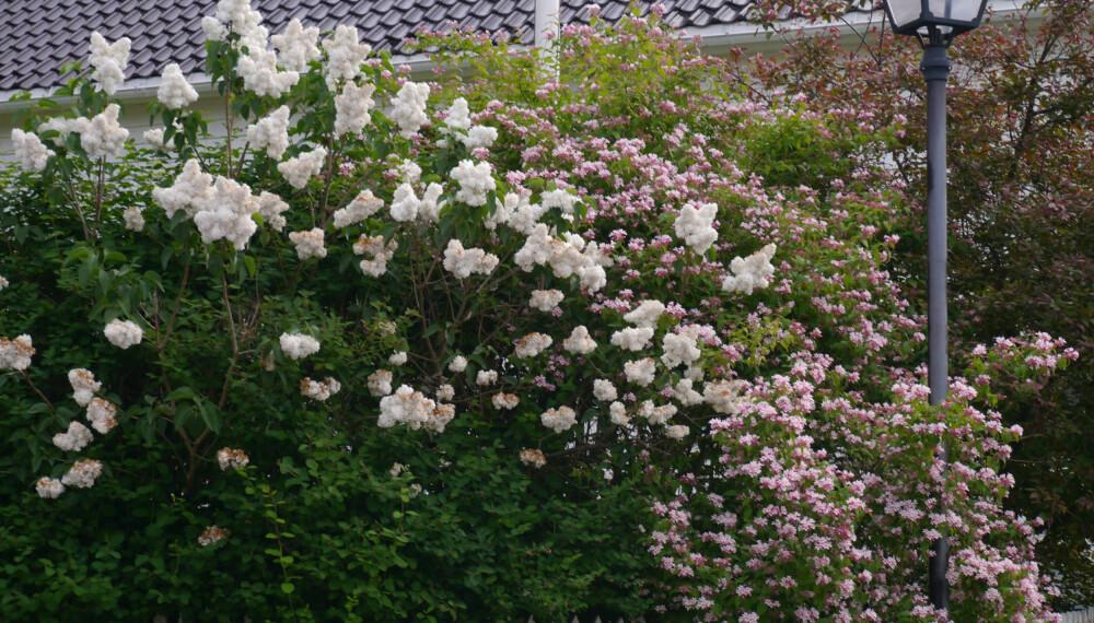 HURTIGVOKSENDE HEKK: Hekk av vårblomstrende syrin og fagerbusk. Foto: Opplysningskontoret for blomster og planter.