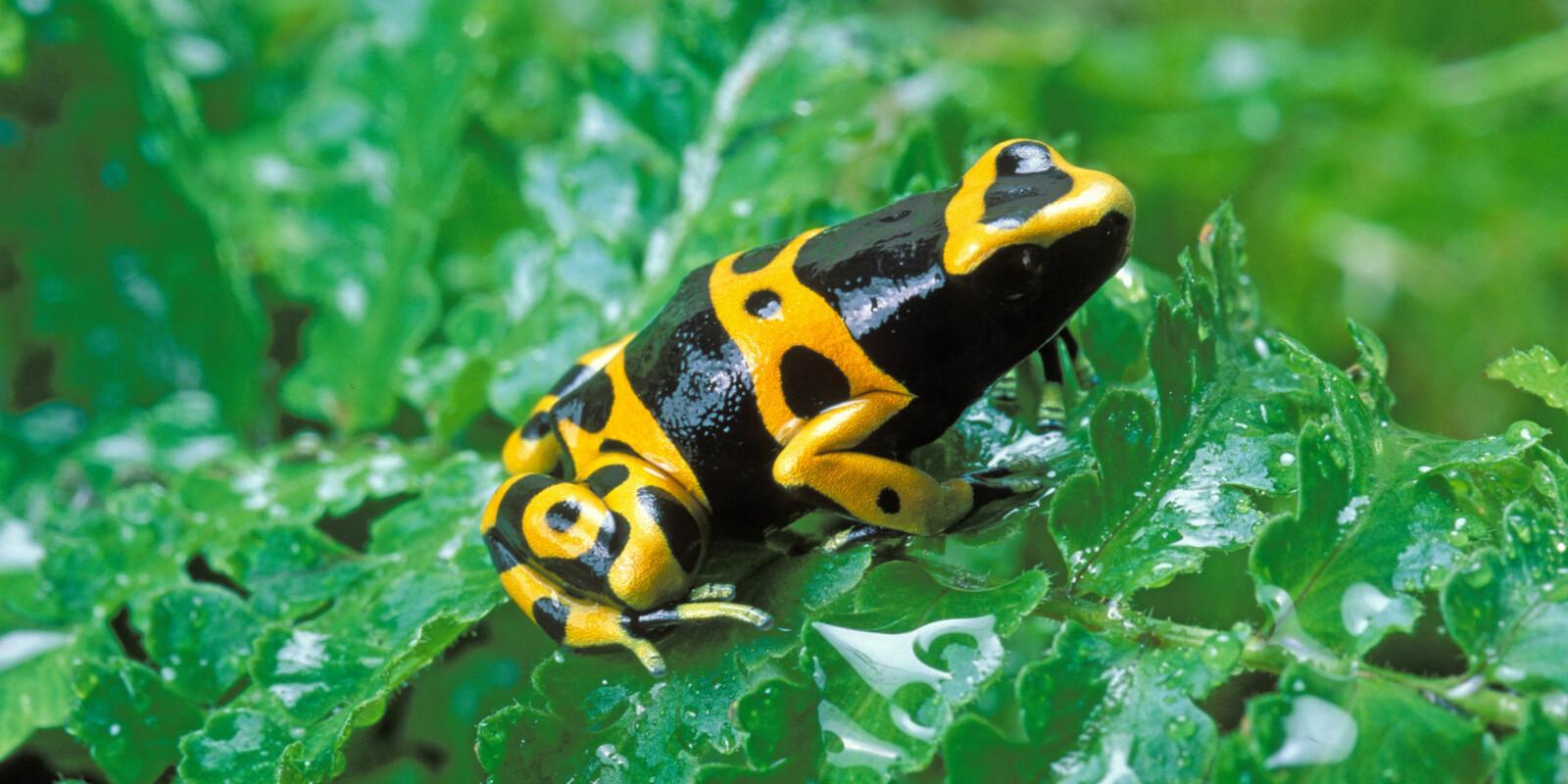 <b>VERDENS GIFTIGSTE DYR:</b> Den gule pilgiftsfrosken er antagelig verdens giftigste dyr. Markeringene på kroppen vil variere fra frosk til frosk. Denne lever i regnskogen i Venezuela og Colombia.