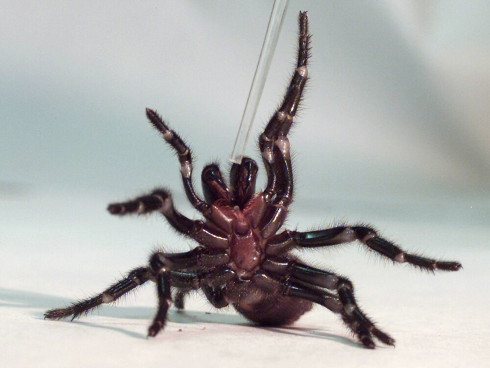 <b>VERDENS GIFTIGSTE EDDERKOPP: </b>Den australske edderkoppen Sydney funnel web-edderkopp er oppgitt som verdens giftigste i Guinness rekordbok. De er både primitive og aggressive, og lever gjerne i hager.