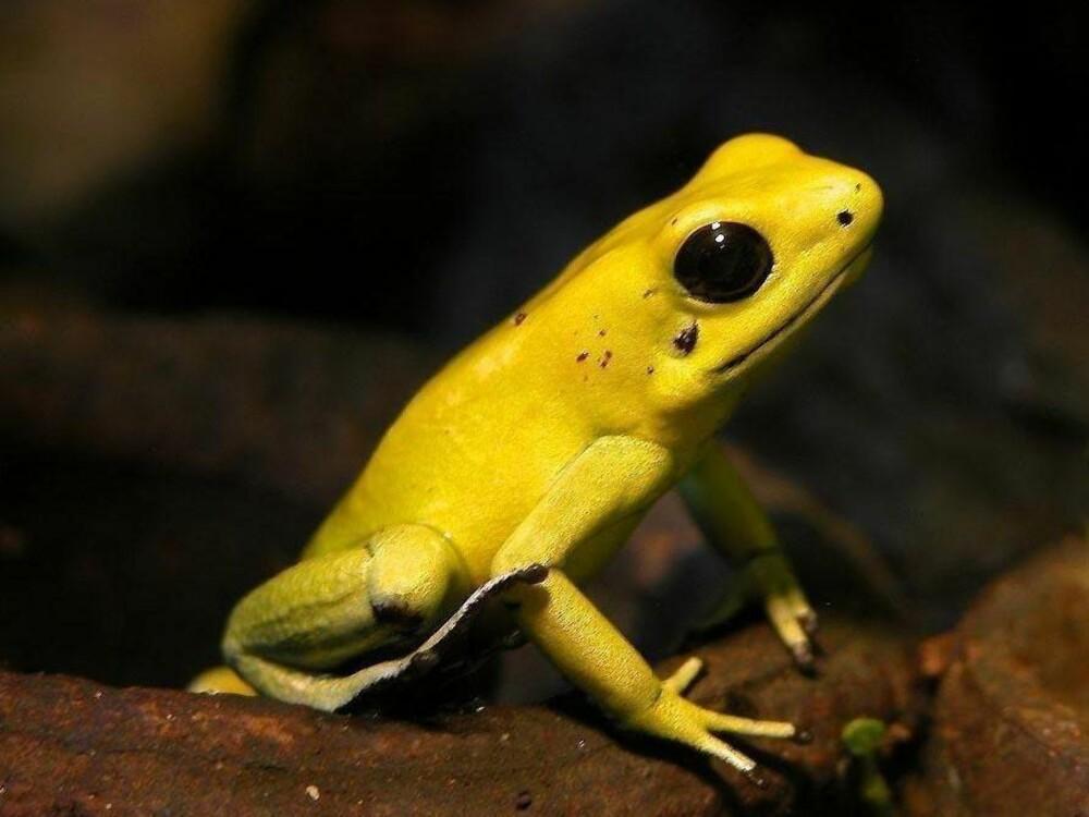 <b>VERDENS GIFTIGSTE FROSK: </b>Den gule du ser på bildet her, er den giftigste av alle typer gule pilgiftsfrosker.