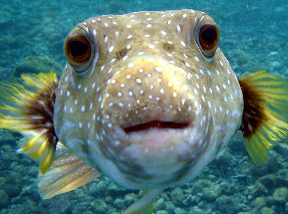 <b>OGSÅ VERDENS GIFTIGSTE FISK: </b>Kulefisken regnes for å være klodens nest mest giftige dyr, men forgifting skjer passivt.