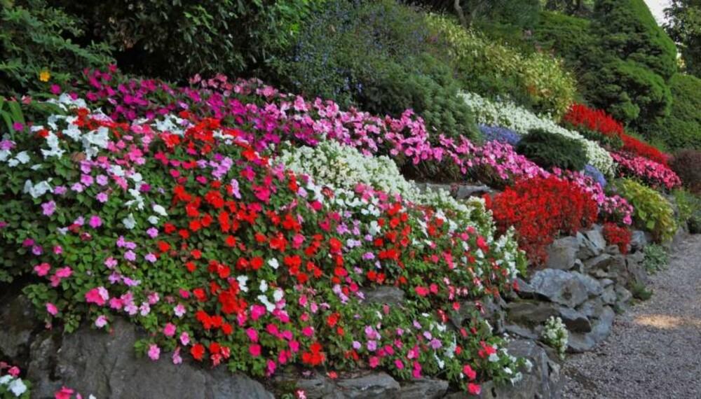 PLANTE I SKRÅNING: Skråningen trenger ikke være ustelt og kjedelig. Med litt arbeid kan du få den til å bli hagens midtpunkt. Foto: Colourbox