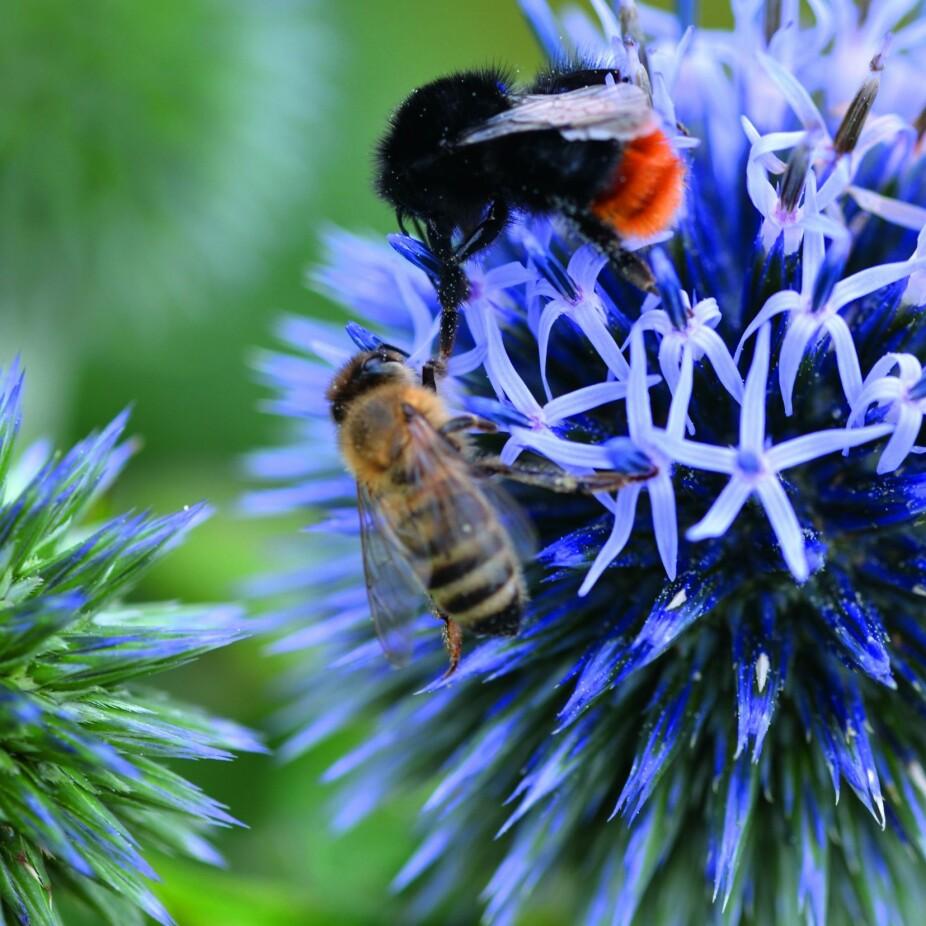 <b>POLLINERENDE INSEKTER:</b> Humler og bier bidrar flittig til vår mat- og fruktproduksjon, og er derfor blant våre viktigste insekter.