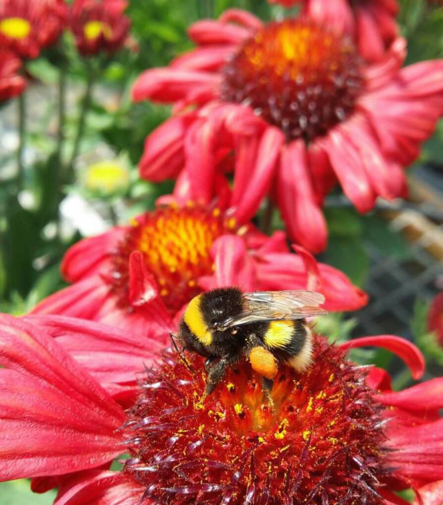 PÅ JOBB: Det er arbeiderne som samler pollen i kurver på utsiden av det bakre benparet. Her jobbes det flittig på stauden solhatt.