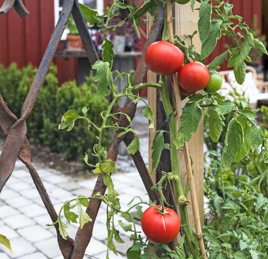 FORSKJELLIG MATERIALBRUK: I hagen og hagestuen er det brukt mange ulike materialer for å skape variasjon og kontraster. Espalieret her får tomatene klatre oppover i.