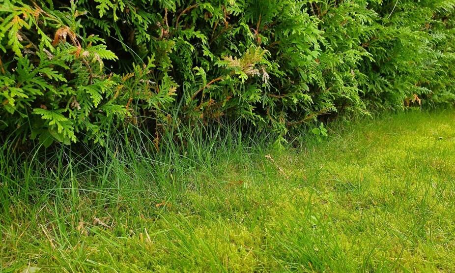 MOSE I HAGEN: Mange sliter med mose i hagen, men vet du hvordan du blir kvitt det? Nøkkelen ligger ofte i omgivelsene rundt. En tett hekk som går helt ned til bakken gir for eksempel gode forhold for mose.