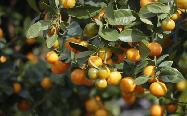 KLEMENTINER: Slik ser klementiner ut på plantasjene