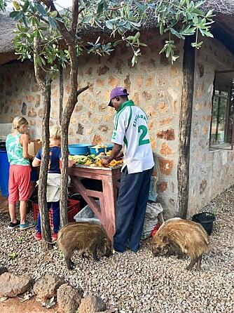 <b>SULTNE:</b> Frivillig arbeid er ikke bare lek! Hver morgen klokken syv var det tid for å tilberede frokost til alle dyrene. De to «bushpig»-ene Primrose og Petunia hang alltid rundt beina da det var matetid.
