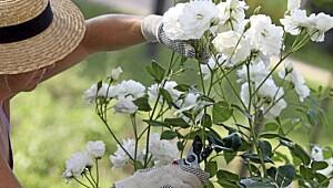 Roser kan beskjæres året rundt