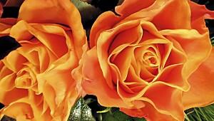 Slik planter du roser