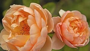De vakreste rosene er Austin-roser