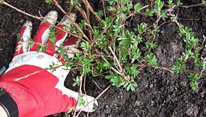 Slik planter du busker og trær